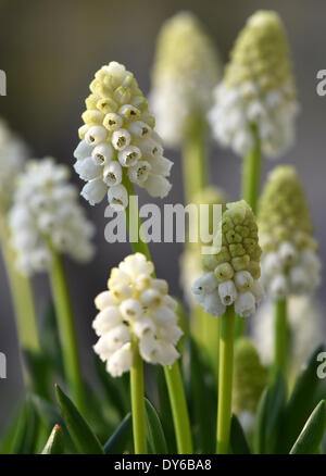 Berlin, Germany. 29th Mar, 2014. Grape hyacinthS (Muscari) blossom in Berlin, Germany, 29 March 2014. Photo: Jens - Stock Photo