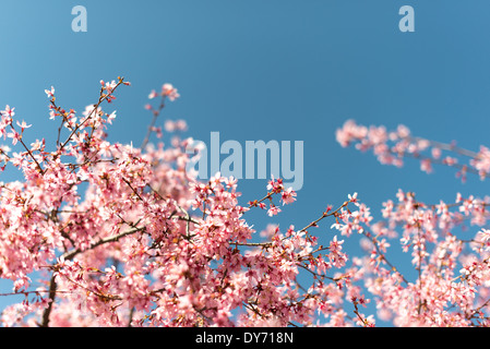 WASHINGTON DC, USA - Beautiful spring blossoms of a flowering cherry tree stand out against a clear blue sky in - Stock Photo