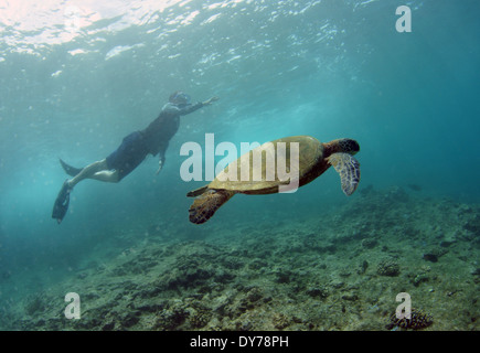 Snorkeler in the surface observes a green sea turtle, Chelonia mydas, swim by, North Shore, Oahu, Hawaii, USA - Stock Photo