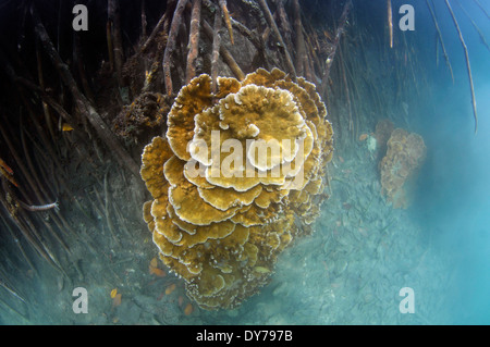 Rice coral, Montipora captata, in the mangrove roots, Coconut Island, Kaneohe Bay, Oahu, Hawaii, USA - Stock Photo