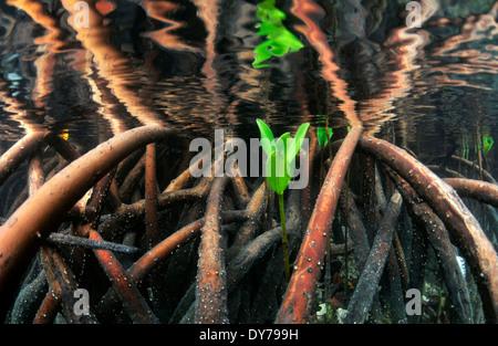 Leaf of red mangrove tree, Rizophora mangle, Coconut Island, Kaneohe Bay, Oahu, Hawaii, USA - Stock Photo