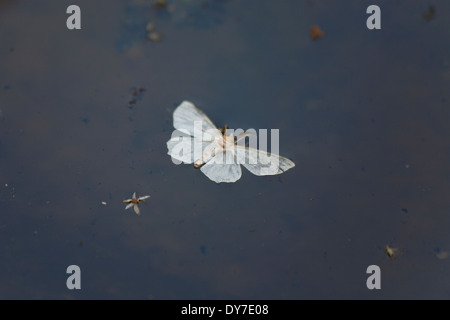 A drowned moth on the surface of water - Stock Photo