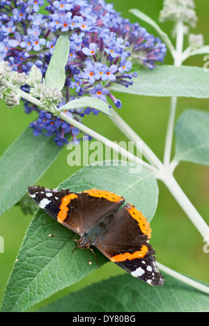 Red Admiral butterfly, Vanessa atalanta on Buddleja 'Lochinch'. Butterfly on foliage. - Stock Photo