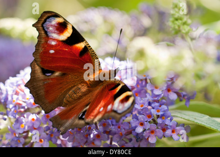 Peacock butterfly, Inachis io on Buddleja 'Lochinch', Butterfly Bush. - Stock Photo