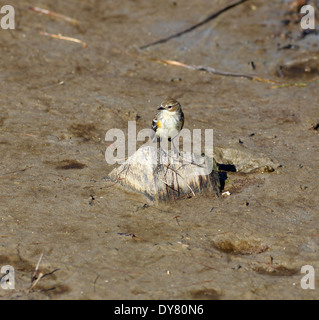 Yellow-rumped Warbler, Setophaga coronata - Stock Photo