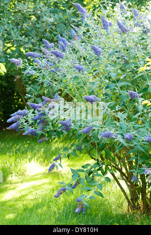 Buddleja 'Lochinch', Butterfly Bush. Shrub, July, Summer. Bush covered in purple flowers. - Stock Photo