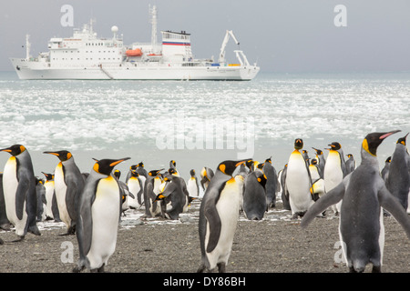 King Penguins on the beach at Gold Harbour on South Georgia, Southern Ocean with an expedition cruise ship behind. - Stock Photo