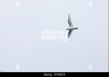 A Snow Petrel, Pagodroma nivea, flying near the Antarctic Peninsular, - Stock Photo