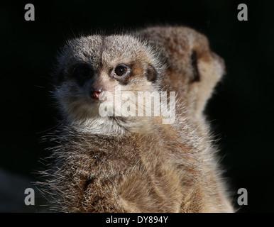 Close-up of an  African Meerkat (Suricata suricatta) standing sentry, another Meerkat in the backgound - Stock Photo
