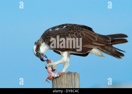 Eagle, Australia, cape Leveque, fish, animal, birds, Western Australia, prey, eat - Stock Photo