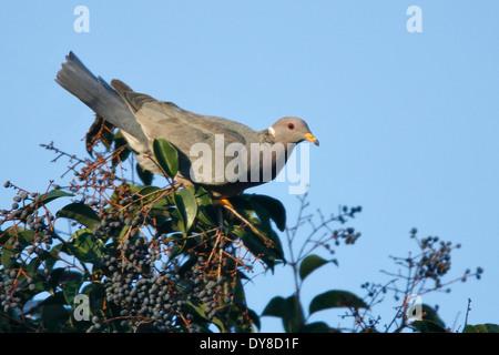 Band-tailed Pigeon - Patagioenas fasciata - Adult - Stock Photo