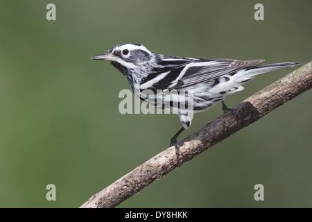 Black and White Warbler - Mniotilta varia - Adult male breeding - Stock Photo