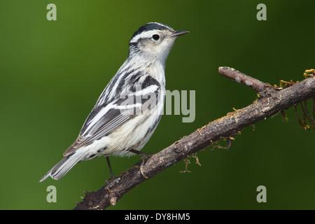 Black and White Warbler - Mniotilta varia - Adult female - Stock Photo