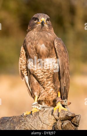 Common Buzzard (Buteo buteo) on a falconer's glove - Stock Photo