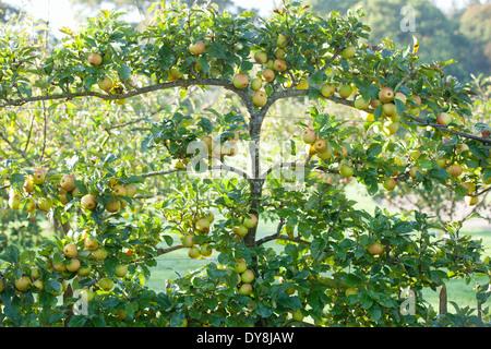 Malus Rosemary Russet, Apple. September, Autumn. Espaliered apple tree bearing fruit. - Stock Photo