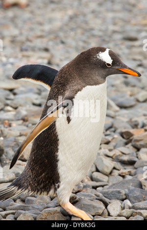 A Gentoo Penguin; Pygoscelis papua, on Prion Island, South Georgia, Antarctica - Stock Photo