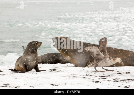 Large bull Southern Elephant Seal; Mirounga leonina, at Gold Harbour, South Georgia, Antarctica - Stock Photo