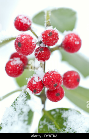 Close up of Ilex aquifolium, Common Holly. Shrub, December. Red berries covered in snow and ice. - Stock Photo