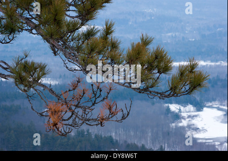 Pine tree branch against a wintry forest backdrop - Stock Photo