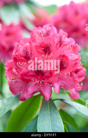 Rhododendron Nova Zembla, Rhodo, Shrub, May. Pink flowerhead. - Stock Photo
