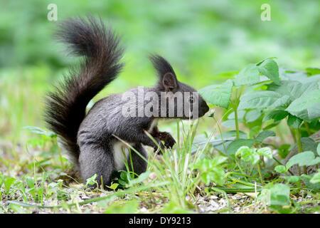 European squirrel, Sciurus vulgaris, squirrel, Bavarian  squirrel, alpine, gray squirrel, animal, animals, Germany, - Stock Photo