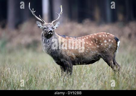spotted deer deer stag Sika Cervus nippon Japanese deer stags Asian deer stags rutting season rutting season eightpointer - Stock Photo