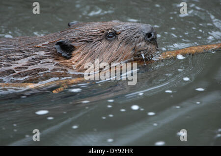 Beavers, rodents, Castor canadensis, water, animal, animals, Germany, Europe, - Stock Photo