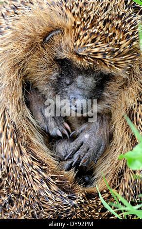 Hedgehog, bristling, Erinaceus europaeus, Common hedgehog, European, summer, Rolled up, animal, animals, Germany, - Stock Photo