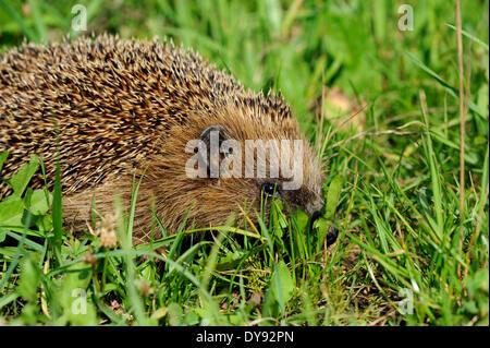Hedgehog, bristling, Erinaceus europaeus, Common hedgehog, European, summer, hedgehog, summer, animal, animals, - Stock Photo