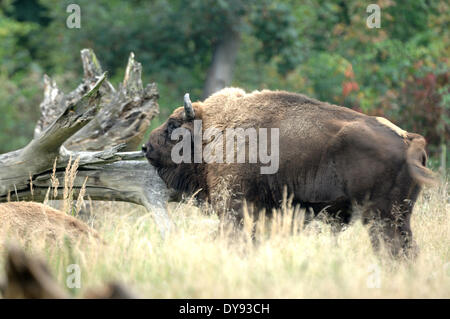 Bison bison bonasus Bovinae cattle buffaloes horns bovine cloven-hoofed animal bisons autumn animal animals Germany - Stock Photo