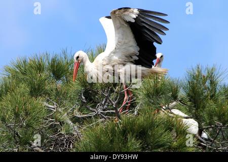 White stork stork storks Ciconia ciconia Extremadura storks Extremadura white storks storks Spain animal animals - Stock Photo