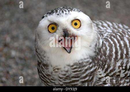 Snowy owl arctic owl owl owls Nyctea scandiaca night birds birds bird raptor bird of prey animal animals Germany - Stock Photo