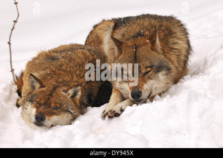 Canis lupus canids European Wolf gray wolf predators wolves predator Wolf winter snow cold frost Canine animal animals - Stock Photo