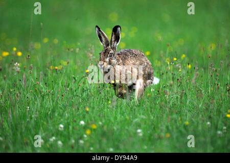 Hare Rabbit Lepus europaeus Pallas brown hare bunny hare rabbit flower meadow rodent fur animal wild animal jumping - Stock Photo