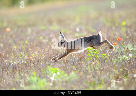 Hare, Rabbit, Lepus europaeus Pallas, brown hare, bunny, animal, animals, Germany, Europe, - Stock Photo