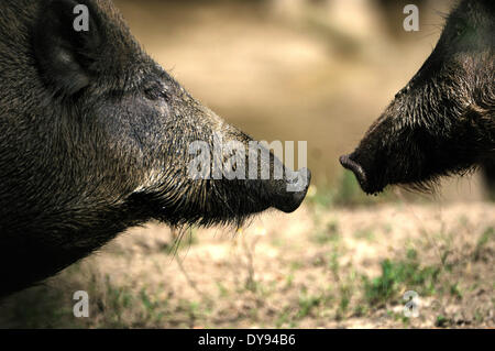 Wild boar Sus scrofa scrofa sow sows wild boars cloven-hoofed animal pigs pig vertebrates mammals wild sows animal - Stock Photo