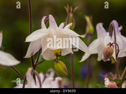 A pink bloom of an Aquilegia displaying the form of a dove which resulted in the common name of columbine derived - Stock Photo