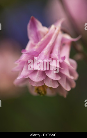 Aquilegia have been grown in gardens for centuries, and are among the most popular of perennials. - Stock Photo