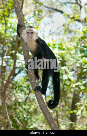 White-faced capuchin monkey (Cebus capucinus) on a tree in Costa Rica - Stock Photo