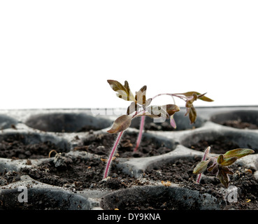 tomato seedling pot in greenhouse - Stock Photo