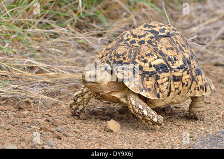 Leopard tortoise (Stigmochelys pardalis), crossing the tarred road, Kruger National Park, South Africa, Africa - Stock Photo