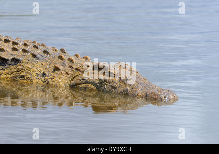 Nile crocodile (Crocodylus niloticus), taking a sun bath in water, Kruger National Park, South Africa, Africa - Stock Photo