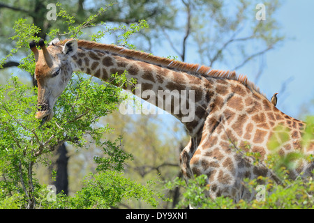 Giraffe (Giraffa camelopardalis), and Red-billed Oxpecker (Buphagus erythrorhynchus), Kruger National Park, South - Stock Photo
