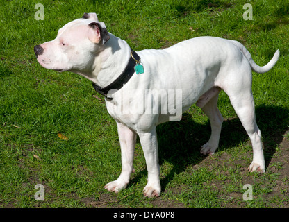 Young Male Staffordshire Bull Terrier - Stock Photo