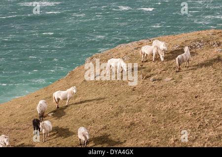 Eriskay ponies on a cliff top on the island of Eriskay - Stock Photo