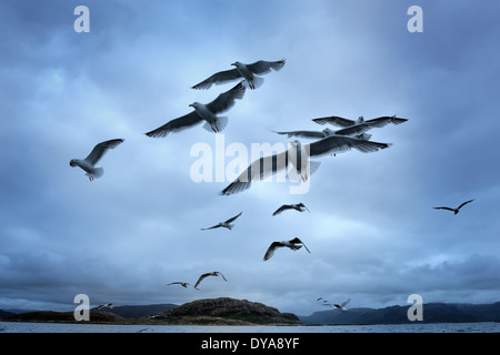 Group of Herring Gulls flying against dark and cloudy sky. - Stock Photo