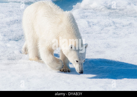 Young adult tagged Polar Bear, Ursus maritimus, looking for scent on pack ice, Bjornsundet, Svalbard Archipelago, - Stock Photo