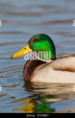 Close up of Mallard / Wild Duck (Anas platyrhynchos) male / drake swimming in lake in breeding plumage in spring - Stock Photo