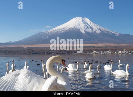Japan, Asia, Lake Yamanaka, Swans, birds, Yamanaka, clear, Fuji, lake, mount, reflection, snow, touristic, travel - Stock Photo