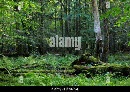 Deciduous stand of Bialowieza Forest in summer with broken trees in foreground partly declined and moss wrapped - Stock Photo